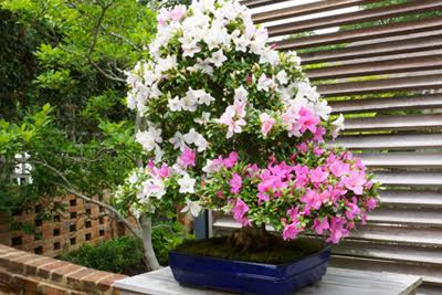 In addition to iconic conifer bonsai, Brussel's Bonsai grows and sells colorful flowering bonsai trees.