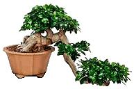 Bonsai tree displaying Informal Cascade or Kengai style