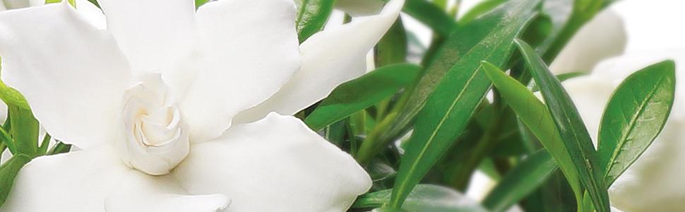 gardenia-1-.jpg