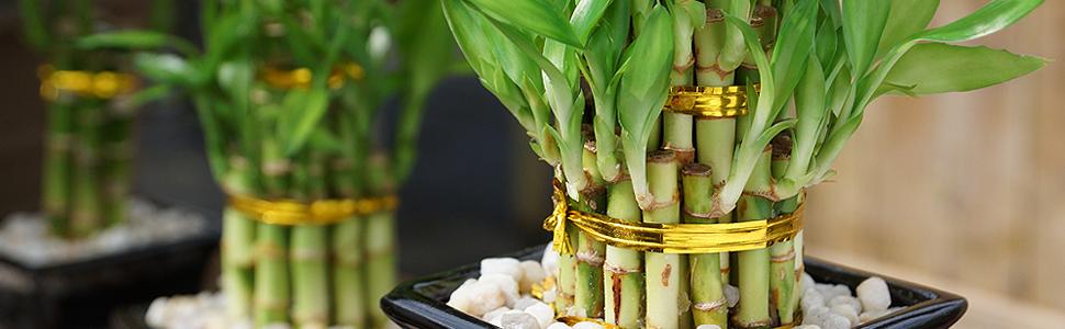 lucky-bamboo-1-.jpg