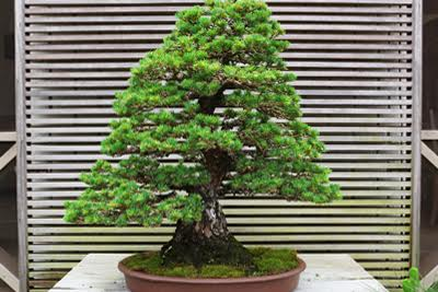 Photos of Specimen Bonsai, like this one, are shots of the individual tree being offered.